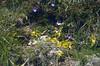 habitat of Pinguicula vulgaris (South Tirol)