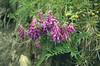 Hedysarum hedysaroides, (NL: alpenzoetklaver) (Seiser Alm)