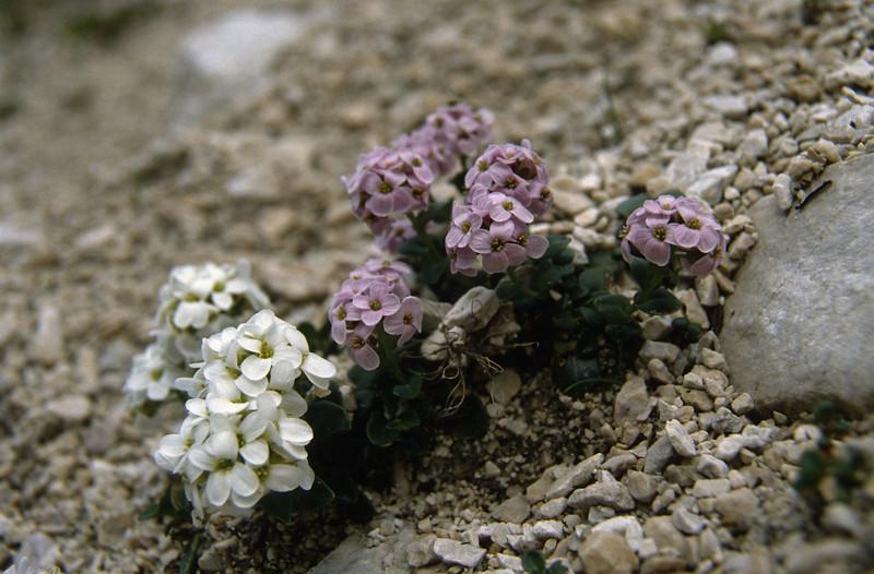 Thlaspi rotundifolium ssp. rotundifolium, white and pink coloured form