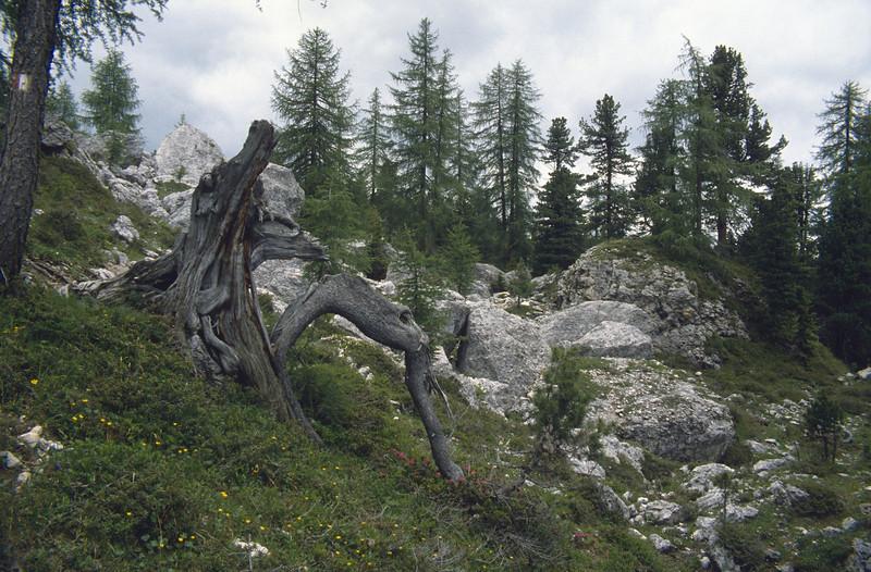 habitat of Larix decidua (L.europaea) (South Tirol)