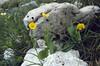 Ranunculus hybridus