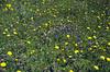 habitat of Campanula scheuchzeri and Crepis alpestris