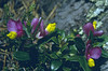 Polygala chamaebuxus ssp. grandiflora