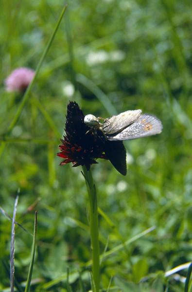 Thomisidae spec. (crabspider) Erebia spec. (NL: zandoogje) Nigritella nigra ssp. austriaca (Seiser Alm)