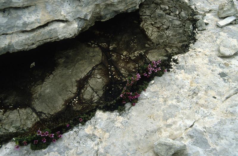 the rootssystem of Saxifraga oppositifolia (Piz Boe)