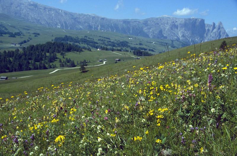 Trifolium montanum, Arnica, Gymnadenia conopsea, Nigritella spec. (Seiseralm)