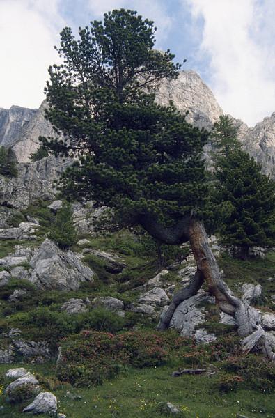 habitat with Pinus cembra