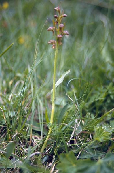 Chamorchis alpina ssp. viride (Seiser Alm)