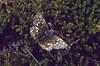 Pyrgus malvae on Caluna spec., (NL: aardbeivlinder op heide)