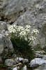 Pritzelago alpina (Hutchinsia alpina)