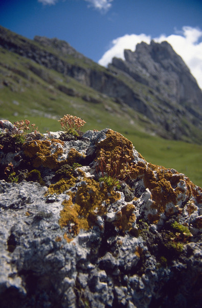 habitat of Saxifraga paniculata and lichen: Xanthoria elegans (South Tirol)