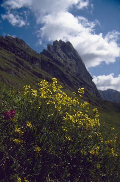 Biscutella laevigata with Anthyllis vulneraria and left Stachys monieri (South Tirol)
