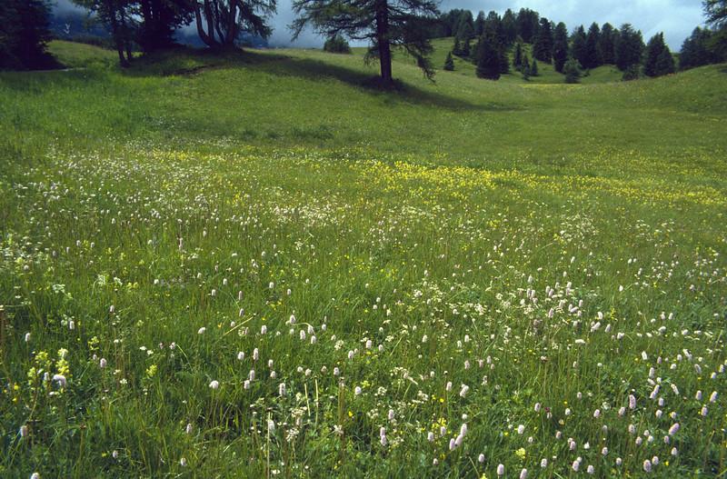 meadow with Polygonum bistorta, adderwortel
