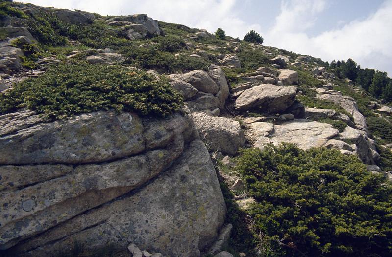 Juniperus communis ssp. alpina