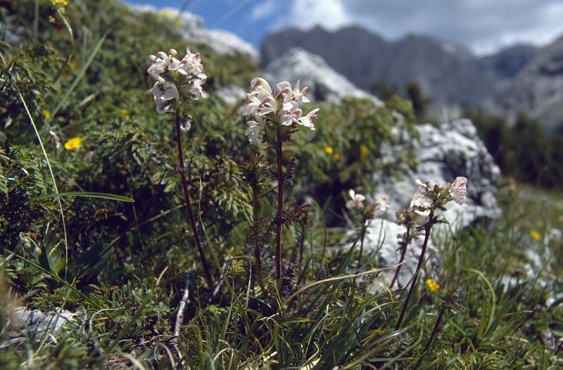 Pedicularis rostratocapitata, light coloured form