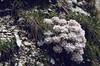 scree habitat of Thlaspi rotundifolium ssp. rotundifolium