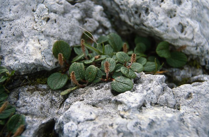Salix reticulata (Sellajoch,South Tirol)