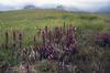 habitat of Pedicularis cf. verticillata