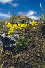 Draba azoides ssp. azoides, 2580m. (Munt la Schera)