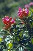 Rhododendron ferrugineum 2100m. (Muot Chavagl, National Park, Graubunden)