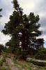 habitat of Pinus cembra,(NL: Arve)