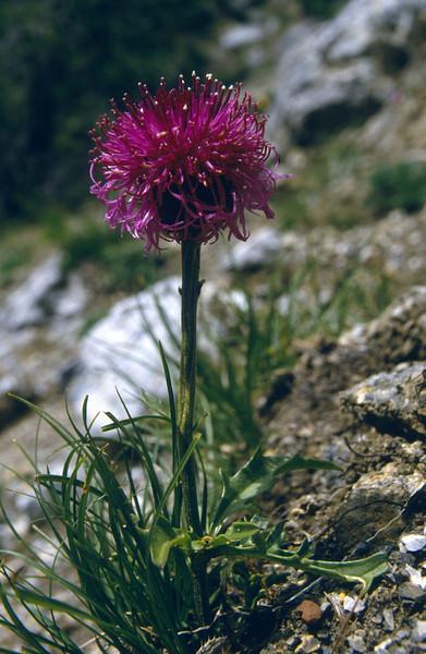 Centaurea scabiosa ssp. scabiosa