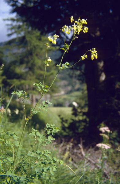 Thalictrum minus (Spoldal, National Park, Graubunden)