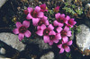 close up of Saxifraga oppositifolia