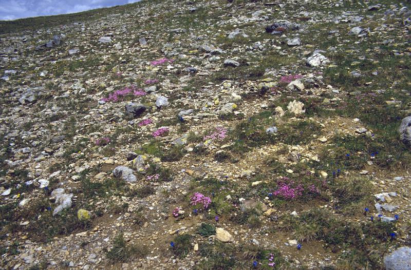 alpine habitat with Silene acaulis, Gentiana verna and Viola calcarata