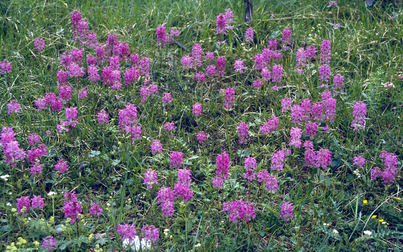 habitat of Pedicularis verticillata (Val Cluoza, National Park)