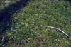 Linnaea borealis (Selva forest)