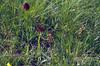 habitat with Nigritella cf. miniata, Botrychium lunaria and Coeloglossum viride (Swiss National Park, Graubunden)