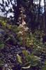 Pyrola rotundifolia, (NL: rondbladig wintergroen) (Swiss National Park, Graubunden)