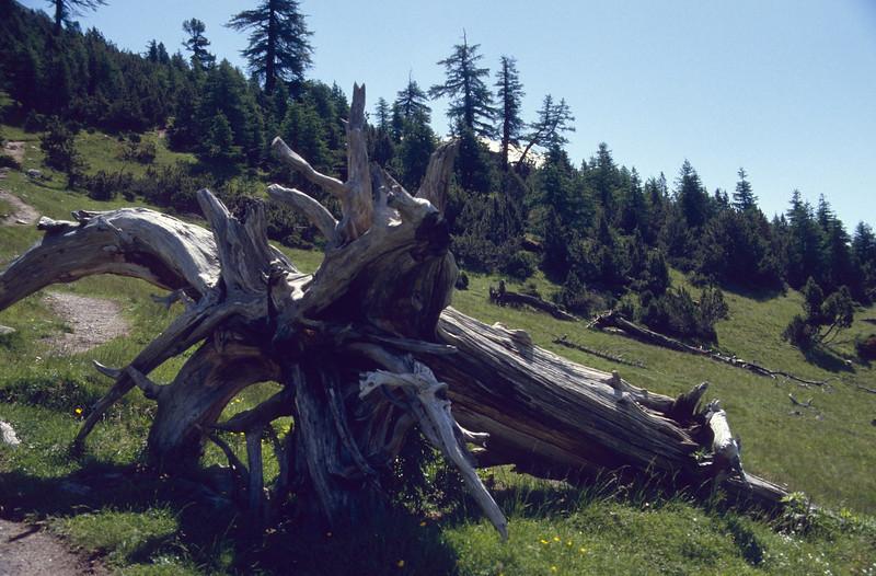 Pinus cemba, (NL: Arve)