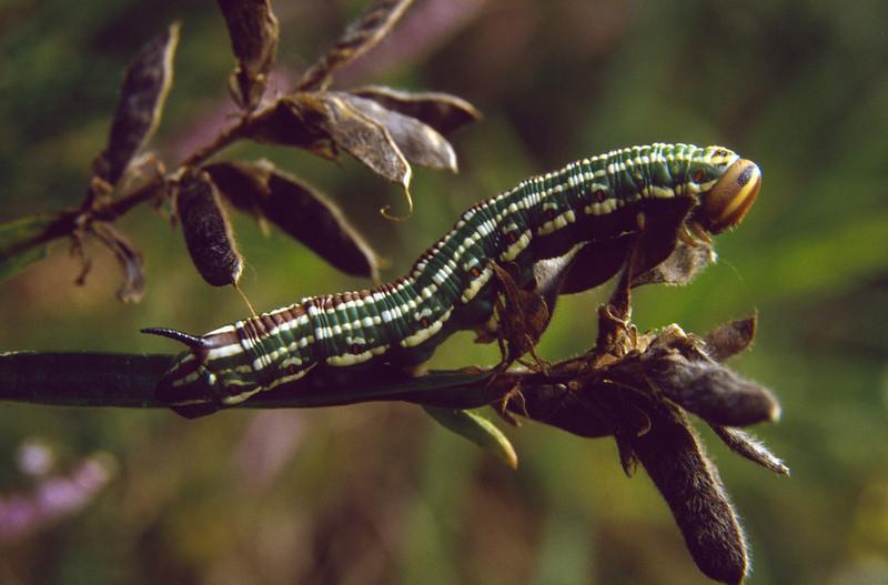 Hyloicus pinastri, (NL: dennepijlstaart rups) (National Park)