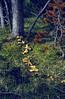fairy ring of Hypholoma fasciculare,(NL: heksenkring met gewone zwavelkop)