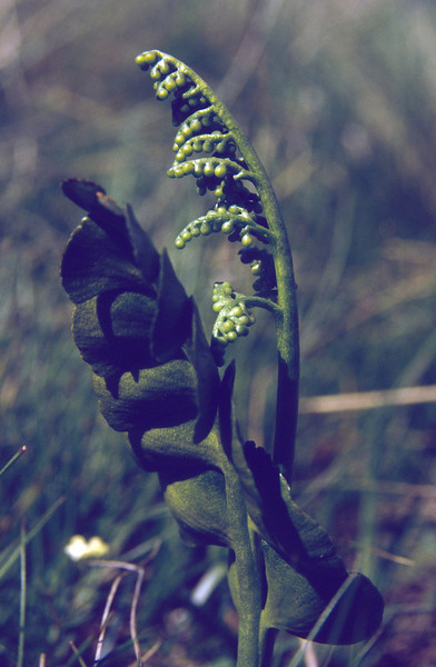 Botrychium lunaria
