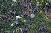 habitat of Viola calcarata 2678m. (Fuorcla Val dal Botsch, National Park, Graubunden)