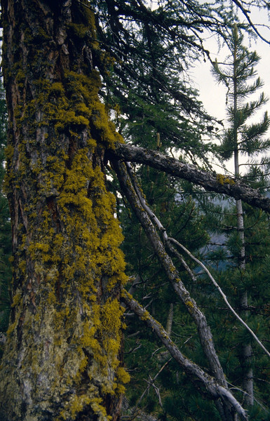 """Letharia vulpina, the """"wolf lichen""""(Identification by Joachim Thiede, Germany)"""