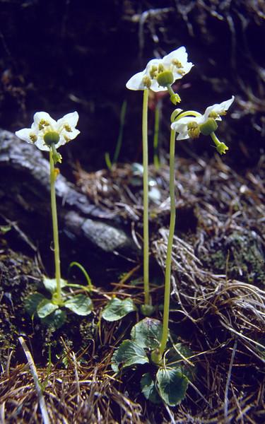 Moneses uniflora, (NL: eenbloemig wintergroen) (Selva forest, National Park, Graubunden,