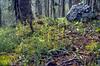 habitat of Corallorhiza trifida, (NL: koraalwortel) (Val dal Botsch,National Park)