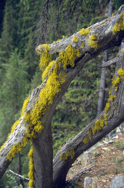 "Letharia vulpina, the ""wolf lichen"""