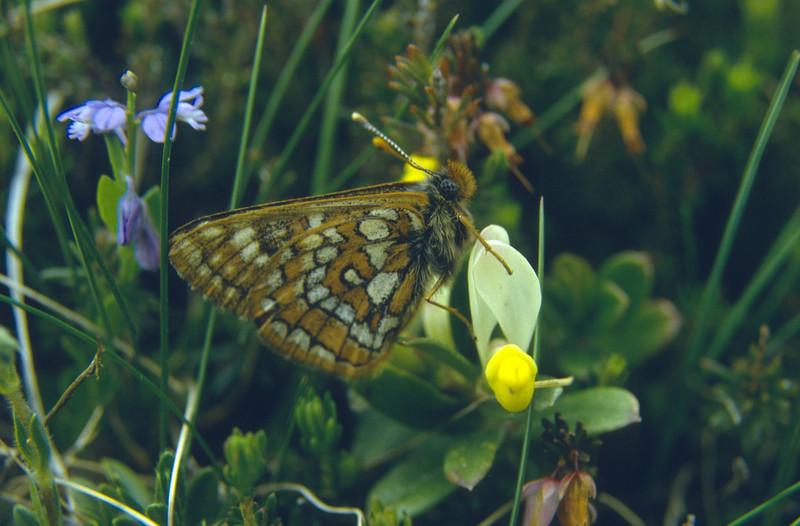 Polygala chamaebuxus and Melitaea spec. (Marangun 2194m. National Park)