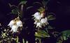 Vaccinium vitis-idaea (Il Fuorn, National Park, Graubunden, Switzerland)