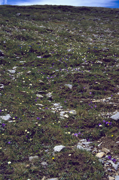 habitat of Viola calcarata, (NL: langsporig viooltje) (Fuorcla Val dal Botsch)