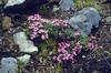 Saponaria ocymoides, 2000m. (Val Cluoza)