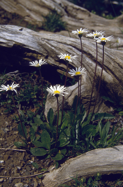 Aster bellidiastrum (National Park, Graubunden)