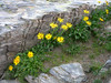 Doronicum clusii ssp. clusii (near the Pas de Chevres 2855m)