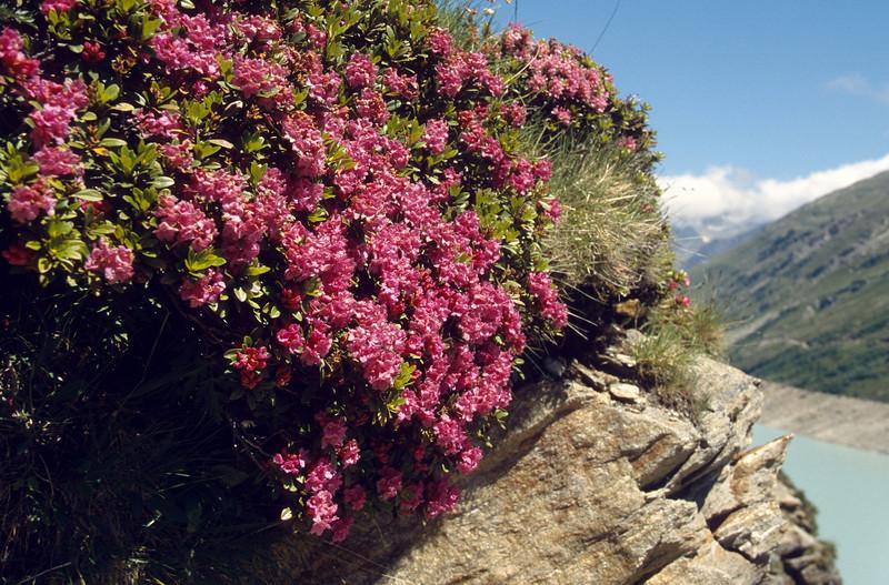 Rhododendron ferruginea (border Mattmark See)