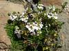 Euphrasia minima (white form)